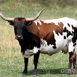 Texas Longhorn Spotted Cow by Catherine Sherman