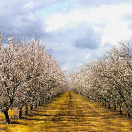The Almond Orchard by Matthew Pace