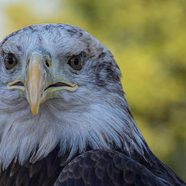 The American Eagle by Jeanne May