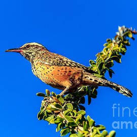 Robert Bales - The Cactus Wren