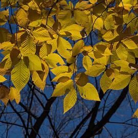 The Gold Canopy by Georgia Mizuleva