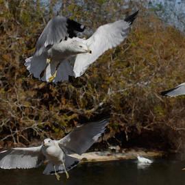 The Gulls by Ernie Echols