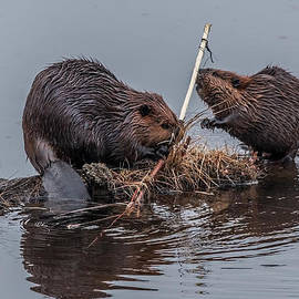 The Hungry Beavers by Steve Dunsford