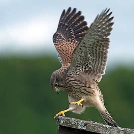 The juvenile Kestrels performance by Torbjorn Swenelius
