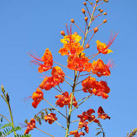 Kirt Tisdale - The Mexican Bird of Paradise Against Blue