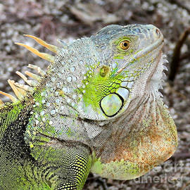 Carol Groenen - The Old Iguana