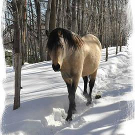 Patricia Keller - The Paso Fino Stallion Named Brio