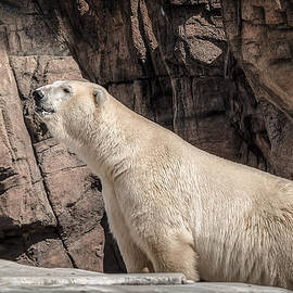 LeeAnn McLaneGoetz McLaneGoetzStudioLLCcom - The Polar Bear