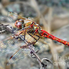 The Red Dragonfly by Jennie Breeze