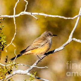 The Say's Phoebe by Robert Bales