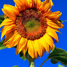 The Sunflower by Robert Bales