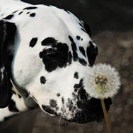 Jenny Rainbow - The Tender Soul of Dalmation. Kokkie. Dalmation Dog