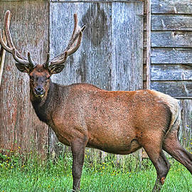 There's an Elk by the Barn by Peggy Collins
