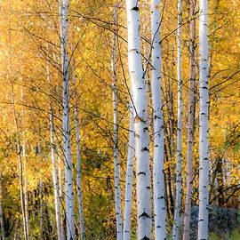 Ari Salmela - Thin Birches