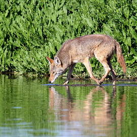 Thirsty Coyote by Ruth Jolly