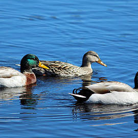 Cynthia Guinn - Three Ducks