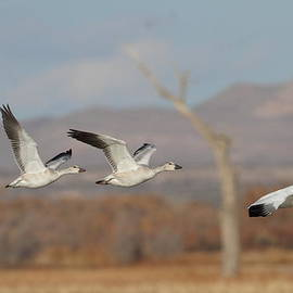 Three Geese in Flight by Ruth Jolly