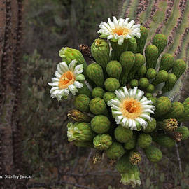 Tom Janca - Three Saguaro Blossoms And Many Buds
