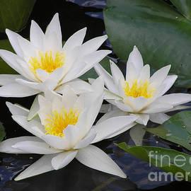 Kerstin Ivarsson - Three white waterlilies