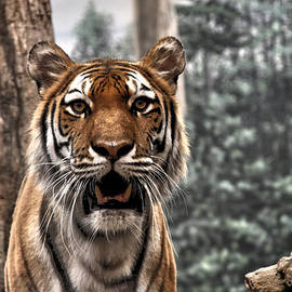 Tiger by Airestudios Photography