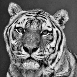 Tiger Portrait - Black and White by Nikolyn McDonald