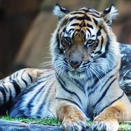 Ben Yassa - Tiger Posing
