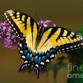 Joe Elliott - Tiger Swallowtail Butterfly