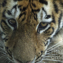 Thomas Woolworth - Tiger You Looking At Me