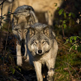 World Wildlife Photography - Timber Wolf Pictures 1157