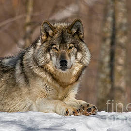 World Wildlife Photography - Timber Wolf Pictures 1486