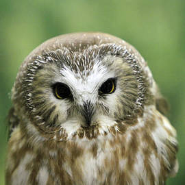 Tiny Owl by Shoal Hollingsworth