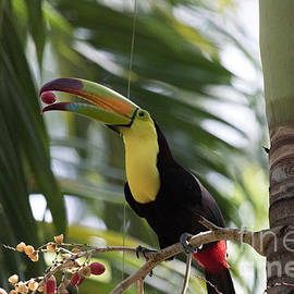 Toucan with Bean by Dan Hartford