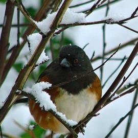 Towhee in Winter by Ed Mosier