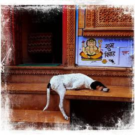 Sue Jacobi - Travel Sleepy Happy Doggie Jaisalmer Fort India Rajasthan