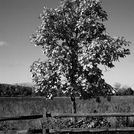 Frank J Casella - Tree and Fence