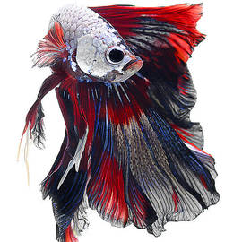 Tricolor Betta Fish by Visarute Angkatavanich