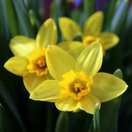 Trio Of Daffodils by Joseph Skompski