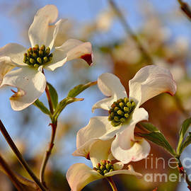 Trio of Dogwood Blossoms by Debby Pueschel