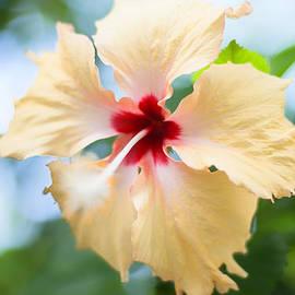 Georgia Fowler - Tropical Hibiscus
