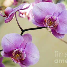 Tropical Radiant Orchid Flowers by Andee Design