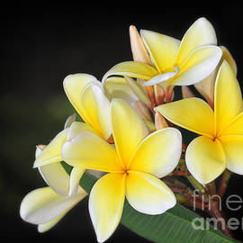 Tropical Yellow Frangipani by Sabrina L Ryan