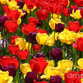 Tulip Colors by Tap On Photo