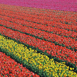 Allen Beatty - Amsterdam Tulip Field