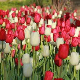 Angela Garrison - Tulip Field