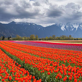 Pierre Leclerc Photography - Tulip field in Agassiz British Columbia