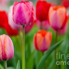 Karen English - Tulip Field