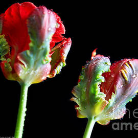 Tracy  Hall - Tulip Flares