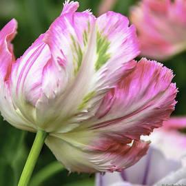 LeeAnn McLaneGoetz McLaneGoetzStudioLLCcom - Tulip Time Pink and White