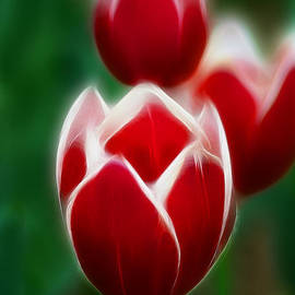 Gary Gingrich Galleries - Tulips-6835-Fractal