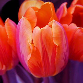 Tulips in Orange and Purple by Jennie Marie Schell